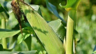 inseto-praga-milho