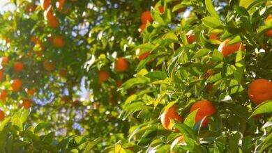 citros-greening-cancro