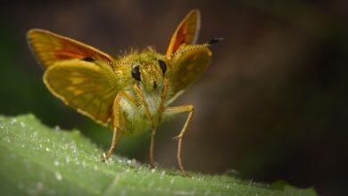 lagarta-mariposa-biodefensivo-algodão