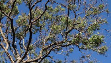 árvore-nim-bioinseticida