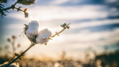 invasoras-daninhas-algodão-herbicidas