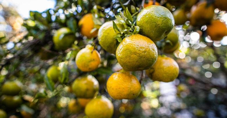 programa-controle-doenças-citros