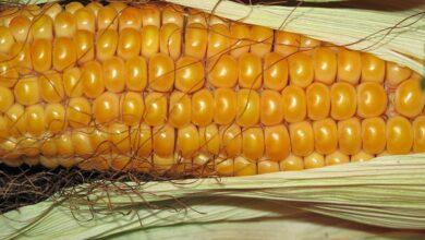 custo-produção-milho-aumento