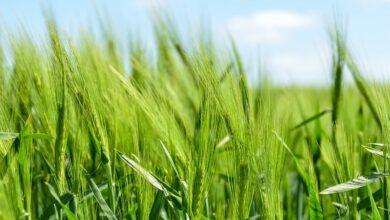 universidade-EUA-eletricidade-herbicida