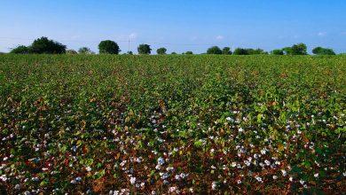 Biotecnologia-quer-melhorar-controle-de-lagartas-no-algodão