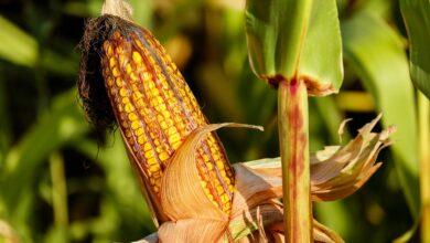 Ocorrência-de-pragas-no-milho-causa-queda-na-colheita