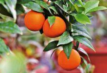 Vespinhas-são-utilizadas-na-citricultura-para-combater-o-greening