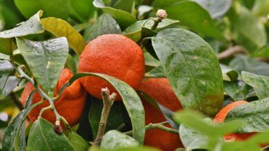 Doença-de-citros-cresce-pelo-quarto-ano-consecutivo