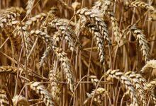 Parceria-internacional-desenvolve-nova-tecnologia-para-brusone-do-trigo